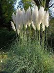 Photo Pampas grass, green Cereals
