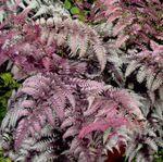 Photo Lady fern, Japanese painted fern, burgundy,claret