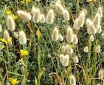 Hare's Tail Grass, Bunny Tails