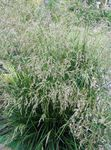 Photo Tufted Hairgrass, Golden Hairgrass, Hair Grass, Hassock Grass, Tussock Grass, light green Cereals