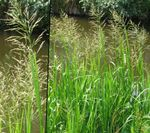 Photo Striped Manna Grass, Reed Manna Grass, green Aquatic Plants