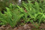 Photo Common polypody, Rock Polypody, green Ferns