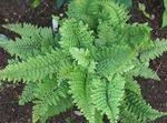 Photo Hard shield fern, Soft shield fern, green