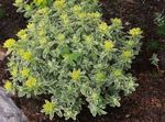 Photo Cushion spurge, yellow Leafy Ornamentals