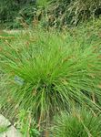 Photo Sedge, green Leafy Ornamentals