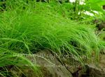 Carex, Sedge