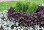 Photo Beef steak Plant, burgundy,claret Leafy Ornamentals