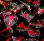 Photo Beef steak Plant, multicolor Leafy Ornamentals