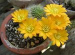 Photo Crown Cactus, yellow