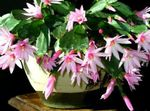 Photo Easter Cactus, pink