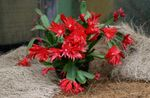 Photo Easter Cactus, red
