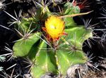 Photo Ferocactus, yellow
