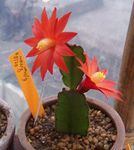 Photo Drunkards Dream, red wood cactus