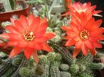 Photo Thistle Globe, Torch Cactus, red
