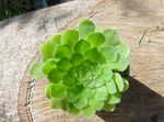 Photo Velvet Rose, Saucer Plant, Aeonium, white succulent