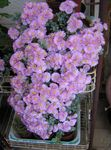 Photo Oscularia, lilac succulent