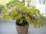 Photo Aichryson, yellow succulent