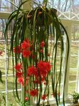 Photo Strap Cactus, Orchid Cactus, red