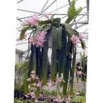 Photo Sun Cactus, pink