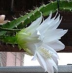 Photo Sun Cactus, white