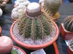 Photo Turks Head Cactus, pink