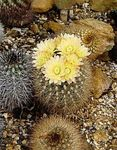 Photo Neoporteria, yellow desert cactus