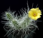 Photo Tephrocactus, yellow