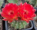 Photo Ball Cactus, red