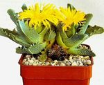 Photo Tiger's Chops, Cat's Jaws, Tiger Jaws, yellow succulent
