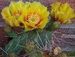 Photo Prickly Pear, yellow desert cactus