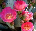 Photo Prickly Pear, pink desert cactus
