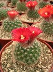 Photo Tom Thumb, red desert cactus