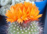 Photo Tom Thumb, orange desert cactus