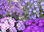 Photo Cineraria cruenta, lilac herbaceous plant