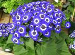 Photo Cineraria cruenta, dark blue herbaceous plant