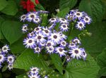 Photo Cineraria cruenta, light blue herbaceous plant