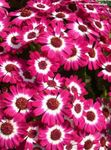 Photo Cineraria cruenta, pink herbaceous plant