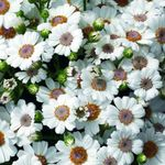 Photo Cineraria cruenta, white herbaceous plant