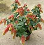 Photo Red Shrimp Plant, white shrub