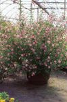 Photo African mallow, pink shrub