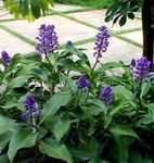 Photo Blue Ginger, dark blue herbaceous plant
