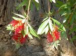 Photo Bottlebrush, red shrub