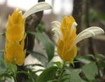 Yellow Shrimp Plant, Golden Shrimp Plant, Lollipop Plant