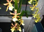 Photo Tiger Orchid, Lily of the Valley Orchid, yellow herbaceous plant
