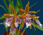 Photo Tiger Orchid, Lily of the Valley Orchid, orange herbaceous plant