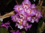 Photo Tiger Orchid, Lily of the Valley Orchid, lilac herbaceous plant