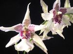 Photo Dancing Lady Orchid, Cedros Bee, Leopard Orchid, white herbaceous plant