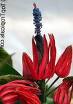 Photo Pavonia, red herbaceous plant