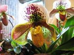 Photo Slipper Orchids, yellow herbaceous plant