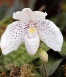 Photo Slipper Orchids, white herbaceous plant